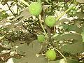 Fig Fruits അത്തിപ്പഴങ്ങൾ-002.JPG