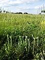 Filago vulgaris sl360.jpg