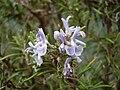 Fiori Rosmarinus officinalis (rosmarino).JPG