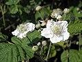 Fiori di mora da rovo (Rubus ulmifolius) sull'argine dell'Adige a Boara Polesine, Rovigo 04.jpg