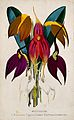 Five tropical orchids, all varieties of the genus Masdevalli Wellcome V0044756.jpg