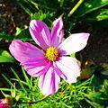 Fleur au Jardin botanique de Neuchâtel (3).jpg