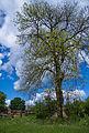 Flickr - Laenulfean - lonely tree.jpg