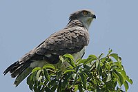 Flickr - Rainbirder - Beaudouin's Snake Eagle (Circaetus beaudouini)