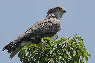 Beaudouin's snake eagle - Perched adult bird near Kampanti, The Gambia.