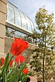 Flickr - USCapitol - Tulips at the U.S. Botanic Garden.jpg