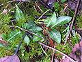 Flickr - brewbooks - Goodyera oblongifolia.jpg