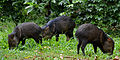 Flickr - ggallice - Collared peccaries.jpg