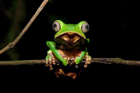 Frog in Yasuní National Park, Ecuador