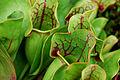 Flickr - ggallice - Pitcher plant, Sarracenia purpurea, Cranberry Glades, Round Glade.jpg