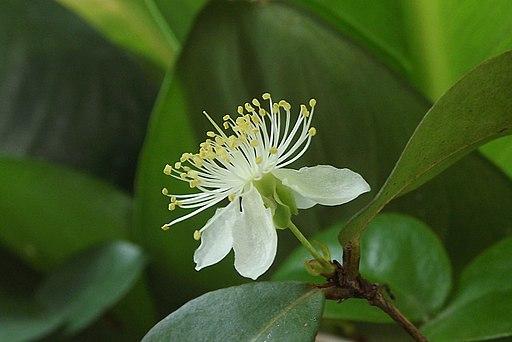 Flor de pitanga - Eugenia uniflora