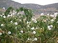 Flora of Tanzania 2357 Nevit.jpg