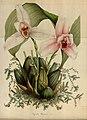 Flore des serres et des jardins de l'Europe - vol. 04 - page 303-304.jpg
