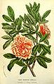Flore des serres v13 175a cropped.jpg