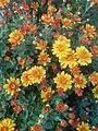 Flores crisanteos com diversas tonalidades.jpg