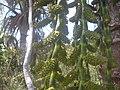 Flores fechadas Buriti 02.JPG