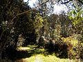 Floresta Nacional de Caçador SC - Mata Nativa 1.jpg