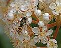 Flower fly Victoria, Australia Oct 2003.jpg