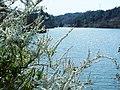 Flower garden and reservoir (Spiraea) 花庭と泉(ユキヤナギ) - panoramio.jpg