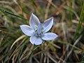 Flower in Bucegi National Reservation (1215027980).jpg