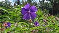 Flower in perathanai garden (4).JPG