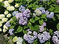 Flowers of Hydrangea macrophylla 20160603.jpg
