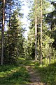 Forest in Umeå - panoramio.jpg
