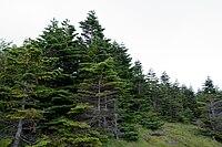 Forest in Yatsugatake 11.jpg