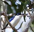 Forest kingfisher 1 (14629482039) (cropped).jpg