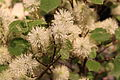 Fothergilla major 'Mt. Airy' close up.JPG