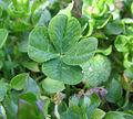 Four-leaf clover.jpg