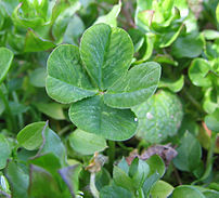 A four-leaf clover is often considered to bestow good luck