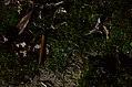 Foxfire at Anna Ruby Fall, Chattahoochee National Forest (14516028661).jpg