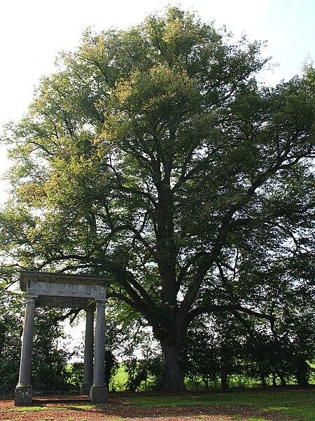 Fraiture  (Belgique), tilleul remarquable de l'ancien parc du château – circonférence mesurée à 1m50 du sol: 385cm (2007).