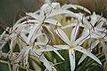 Fraser Island wildflower.jpg