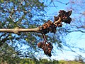 Fraxinus excelsior Jesion wyniosły 2020-04-19 02.jpg