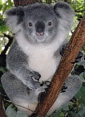 Koala femelle dans la fourche d'un eucalyptus