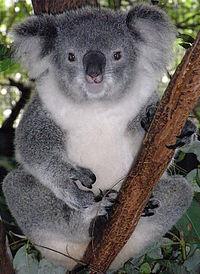 Koala Vikipedi
