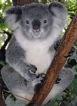Friendly Female Koala