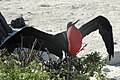 Frigatebird attracting mate on Genovesa Island (Tower Island) Galapagos - panoramio.jpg