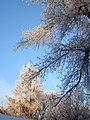 Frosty Branches (4163777364).jpg