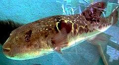 """...сошел с ума """": у берегов Израиля выловили тропических ядовитых рыб фугу."""