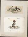 Fuligula rufina - 1700-1880 - Print - Iconographia Zoologica - Special Collections University of Amsterdam - UBA01 IZ17700021.tif