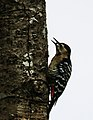 Fulvous-breasted woodpecker (Dendrocopos macei) 53.jpg