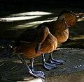 Fulvous-whistling-ducks-florida-aquarium.jpg