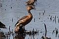 Fulvous Whistling-Duck Anahuac NWR-Shoveler Loop TX 2018-04-24 13-34-19 (41337352364).jpg
