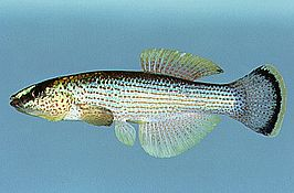 Fundulus catenatus.jpg