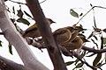 Fuscous Honeyeater (Ptilotula fusca) (8079669565).jpg
