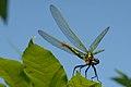 GIPE25 - Calopteryx virgo (by-sa).jpg