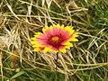 Gaillardia pulchella.jpg